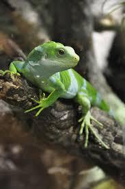 blue axanthic iguana reptiles and amphibians pinterest