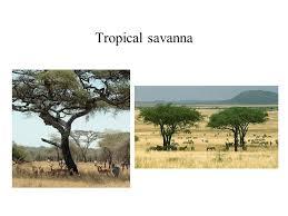 Tropical Savanna Dominant Plants - indianpipe u2013monotropa uniflora tetraphis pellucida ppt download