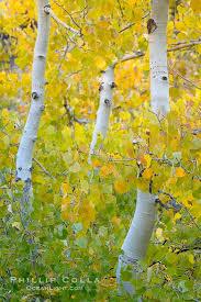 eastern sierra fall colors u2013 natural history photography blog
