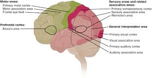 Why Is Anatomy And Physiology Important Human Brain Wikipedia