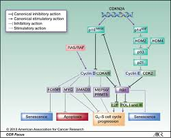 Cell Cycle Concept Map The Cell Cycle Regulator Cdk4 An Emerging Therapeutic Target In