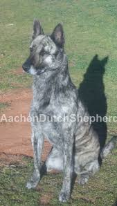 belgian shepherd for sale south africa dutch shepherd puppies for sale aachen dutch shepherds