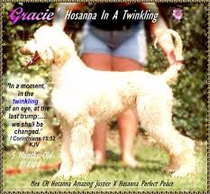 afghan hound puppies ohio afghan hounds history show dogs akc registered dog breeder hosanna