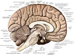 Brain Mapping Brain Free Download Clip Art Free Clip Art On Clipart Library