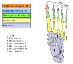Os Calcaneus Os Du Pied Humain 5398e167 Jpg