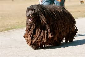 affenpinscher shaved bergamasco dog breed information buying advice photos and facts
