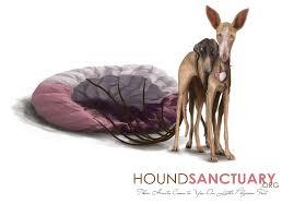 afghan hound rescue north carolina sighthound rescue galgo rescue borzoi rescue afghan hound rescue