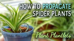 how to propagate spider plants with plantlets