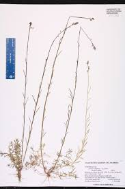 plants native to canada linaria canadensis species page isb atlas of florida plants