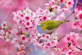 cherry blossom pics 11 of the most beautiful cherry blossom photos ever