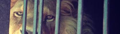 it u0027s basically legal for mexican narcos to buy lions cheetahs