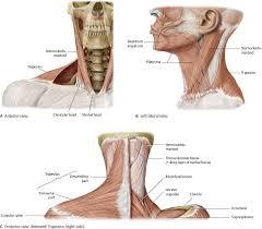 Right Side Human Anatomy Neck Atlas Of Anatomy