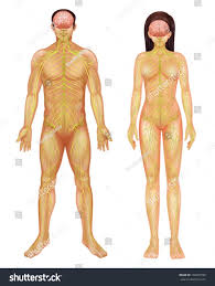 Nervous System Human Anatomy Illustration Human Nervous System Stock Vector 139691599
