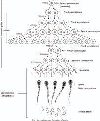 spermatogenesis gametogenesis