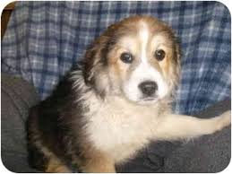 australian shepherd mix puppies for sale hawk adoption pending adopted puppy winchester oh great