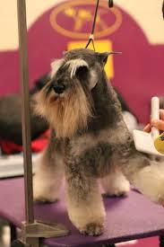 banana joe affenpinscher pedigree 14 best mutant dogs images on pinterest westminster dog show
