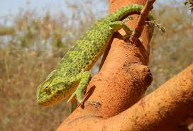 choosing a pet lizard and basic care
