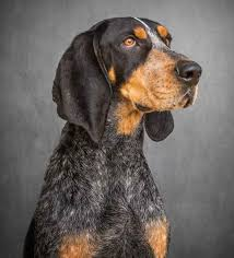 bluetick coonhound in tennessee a vol u0027s best friend u2013 torchbearer