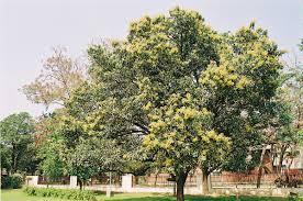 Mango Boom mango soort