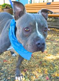 american pitbull terrier z hter deutschland adoptable dogs