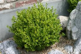 buxus microphylla u0027golden dream u0027 peergold pp 16052 village