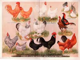 Best Backyard Chicken Breed by What Are The Best Laying Chicken Breeds Have You Ever Considered