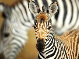 zebra african wildlife foundation