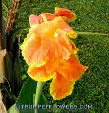 Canna Lily Trumpetflowers Com Galleries Canna Lily