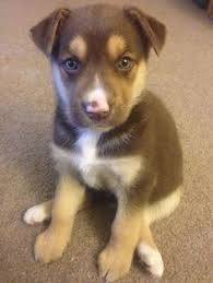 australian shepherd husky puppy pug husky mix it u0027s called a