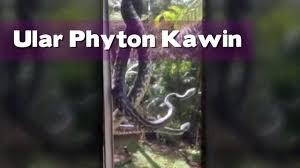 film ular phyton begini ular phyton melakukan kawin vidio com
