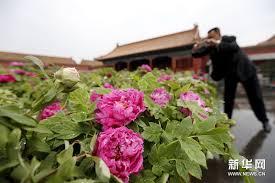 Peony Flowers Luoyang Peony Flowers Displayed At Palace Museum Cctv News