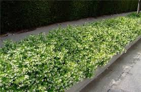 Backyard Ground Cover Options Star Jasmine As A Ground Cover For Retained Wall To Side Of House