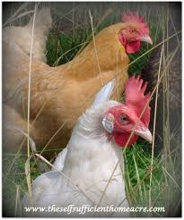 how to cull your old laying hens chicken pinterest laying