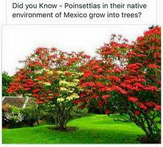 poinsettia tree a poinsettia tree in mexico this is what they really look like in