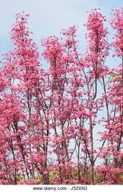 flamingo tree stock photos flamingo tree stock images alamy