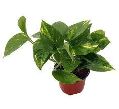 amazon com golden devil u0027s ivy pothos epipremnum 4