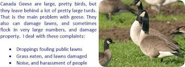 How Do You Get Rid Of Skunks In Your Backyard How To Get Rid Of Canada Geese From Yard And Property Canadian
