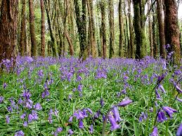 plants native to ireland bluebell hyacinthoides non scripta ireland u0027s wildlife