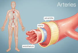 Picture Of Human Knee Muscles The Arteries Human Anatomy Picture Definition Conditions U0026 More
