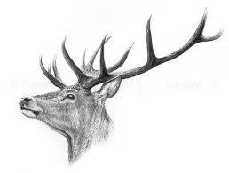 drawn deer red deer pencil and in color drawn deer red deer