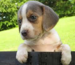australian shepherd puppies for sale 34655 beagle puppy for sale in womelsdorf pa adn 35265 on puppyfinder