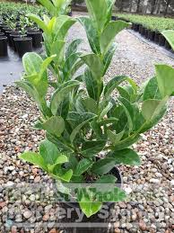 native plant nursery terrey hills sweet viburnum 200mm pot viburnum odoratissimum budget wholesale