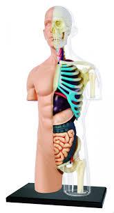Human Body Anatomy Pics Nature Discovery Human Body Anatomy