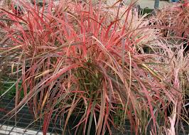 ornamental grasses give four seasons of interest mississippi