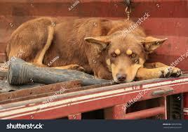 Bench Kelpie Puppies Sale Beautiful Kelpie Dog Australian Breed Sheep Stock Photo 285578780