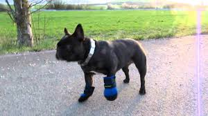 french bulldog vs ultra paws boots youtube