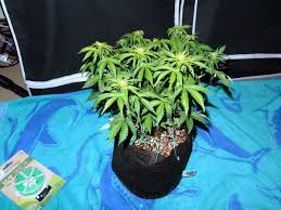 how well would a plant grow under pure yellow light auto flowering grow journal 6 7 oz under 250w hps grow weed easy