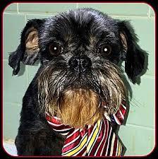 affenpinscher near me tessie adoption pending adopted dog seymour mo affenpinscher