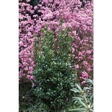 White Flowering Shrub - flowering shrub shrubs trees u0026 bushes the home depot