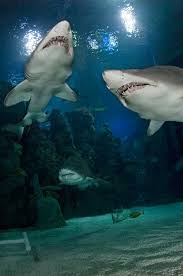 Lighthouse Buffet Kemah Menu by All About Sharks Kemah Boardwalk Houston Aquarium Activities